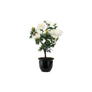 Photo of Cream Peony In Black Planter Home Miscellaneou