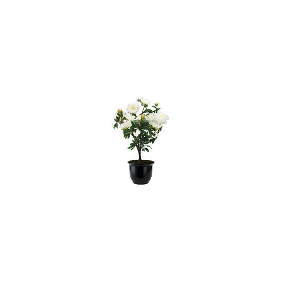 Cream Peony In Black Planter