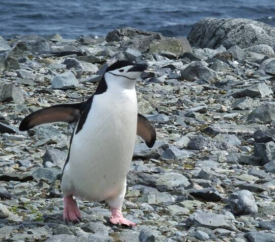 The cleanest Chinstrap penguin in town!, Best Moment, Ocean Cruises, Worldwide Cruises